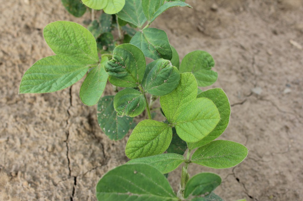 flumetsulam applied post to soys