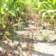 """annual weed control with glyphosate (360 g/L) at 1.5 L/ac applied to 20 cm (8"""") tall weeds"""