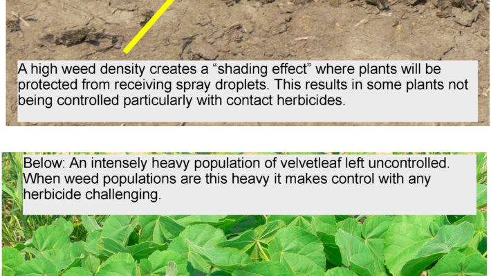 velvetleaf density and impact on control