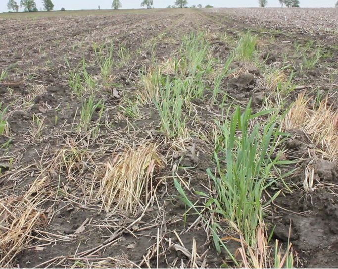 volunteer wheat control with glyphosate