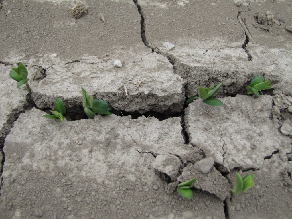 Soil crusting and soybean emergence 2011
