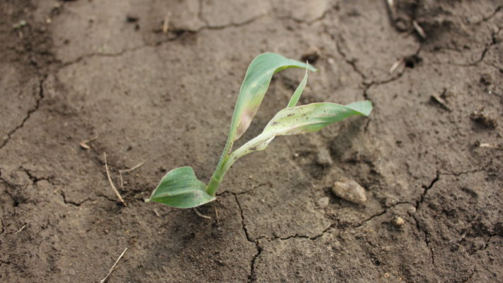 venture injury on corn - applied day before emergence