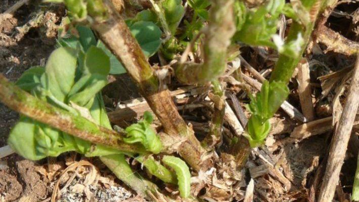 Alfalfa weevil larvae feeding on 2nd cut regrowth