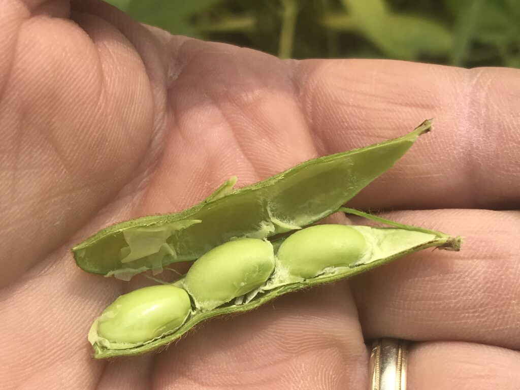 This photo shows a green soybean pod broken open and where the seed is still attached to the inner wall of the pod. If soybean plants have bean pods like this, then it is too early to apply a pre harvest herbicide.