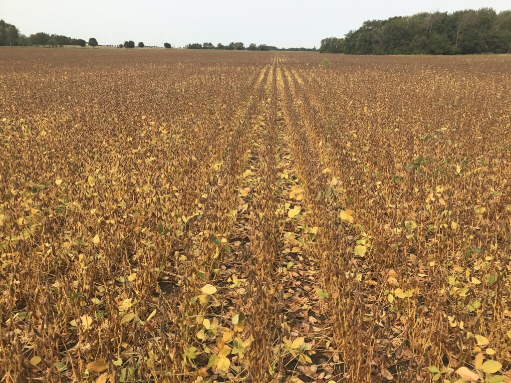 This picture illustrates that over 90% of the pods have changed colour (from green to brown) even though some leaves remain attached. This field could now be sprayed with a pre-harvest herbicide.