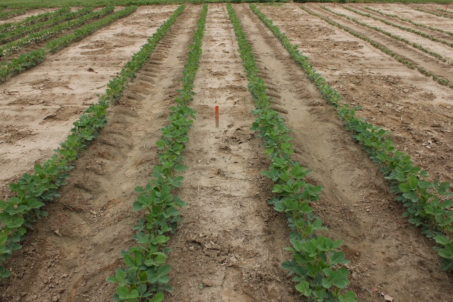 2,4-D Ester injury to soybean at the back compared to the unsprayed front.