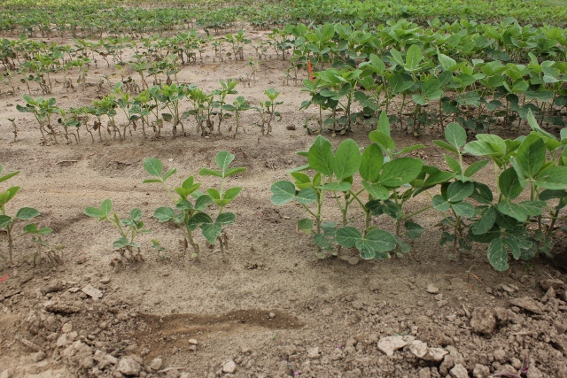 Stunting caused by a post emergent application of bromoxynil/MCPA (left) compared to the untreated area (right).