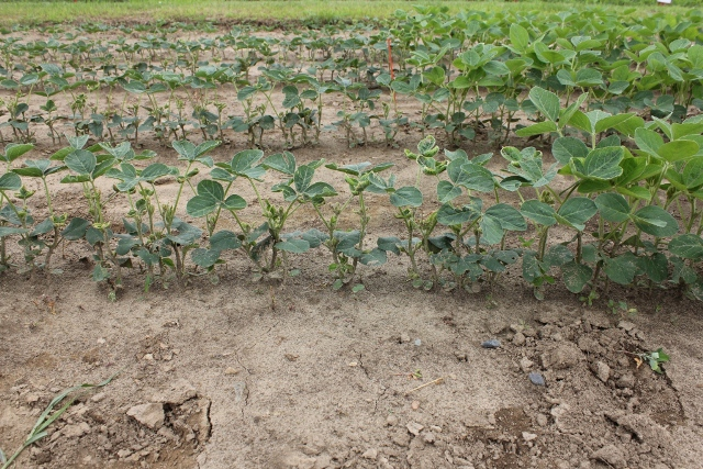 Leaf cupping caused by low rates of dicamba.