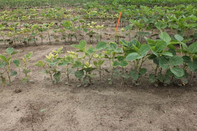 Stunting and bleaching casued by a sprayer contamination of VIOS G3 applied postemergent to soybean.