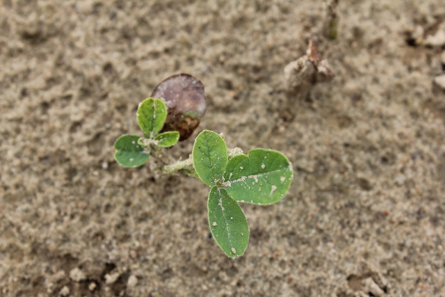 The above photo shows remenants of severe necrosis (cotyledon) caused by saflufenacil and then new trifoliate growth.
