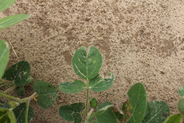 """Draw string"" leaf distrotion caused by group 15 herbicides, especially when applied post emergent to soybean."