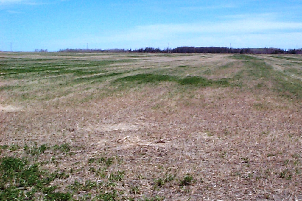 alfalfa winterkill