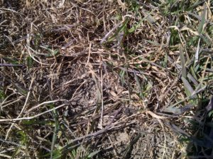 Grass Forage Stand