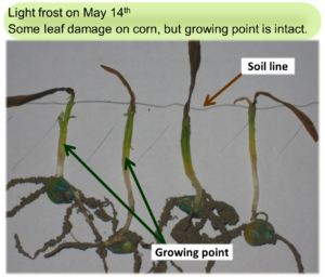 Frost damaged corn seedling