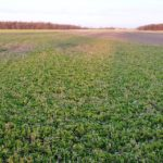 March 2012 frosted alfalfa cc