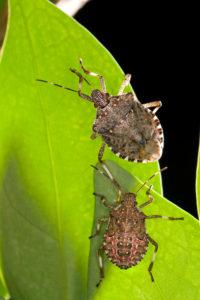 Brown marmorated stink bug adult (Photo Credit: Stephen Ausmus, USDA-ARS)