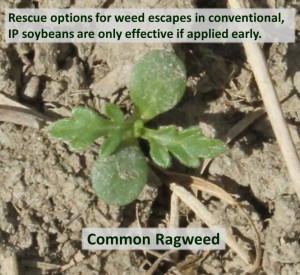 Common ragweed escape