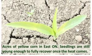 Yellow Corn Seedling, Figure 2.
