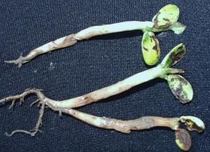 Seed corn maggot injury to soybean seedlings