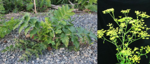 Figure 1. Vegetative (left) and Flowering (right) Wild Parsnip