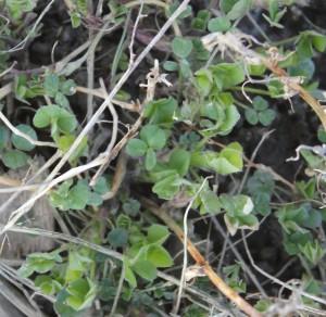 Alfalfa Spring