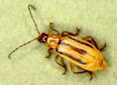 Figure 3 - Western Corn Rootworm Adult