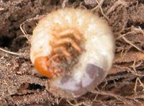 Figure 5 - White Grub Larva
