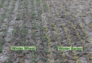 Winter Wheat Barley