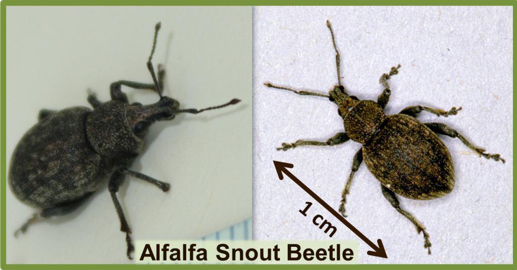 Figure 2 - Alfalfa Snout Beetle