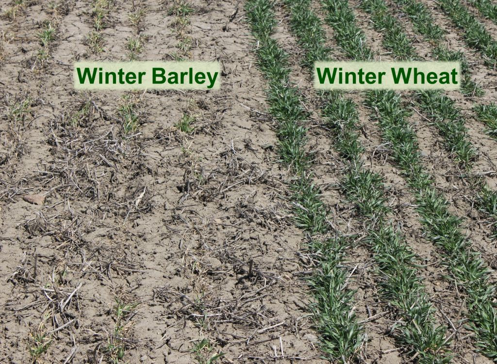 Figure 4 - Winter barley