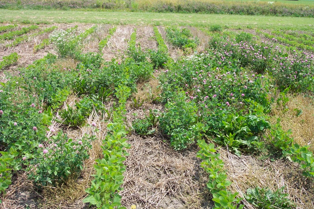 Figure 1 The ineffective control of red clover with a pre-plant application of 2,4-D Ester