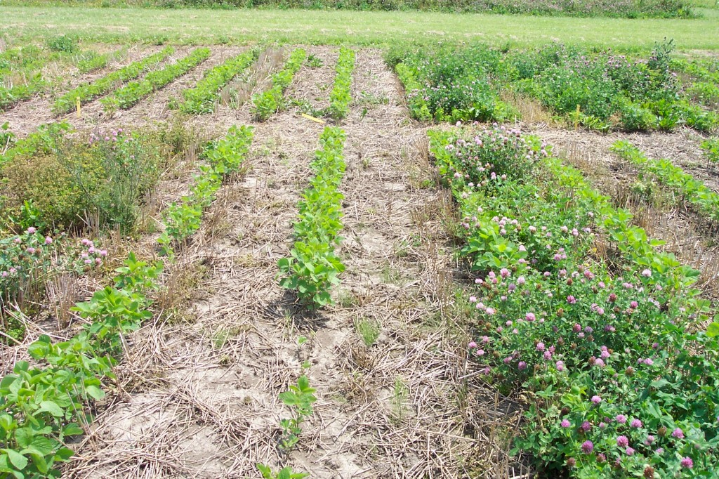 Volunteer red clover control with a pre-plant application of glyphosate + Amitrol 240 (left) compared to the untreated control (right). The gap in the soybean row was caused by a planter malfunction.