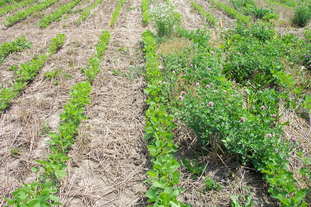 Volunteer red clover control with a pre-plant application of glyphosate 360 g/L at 1.5 L/ac (left) compared to the untreated control (right)