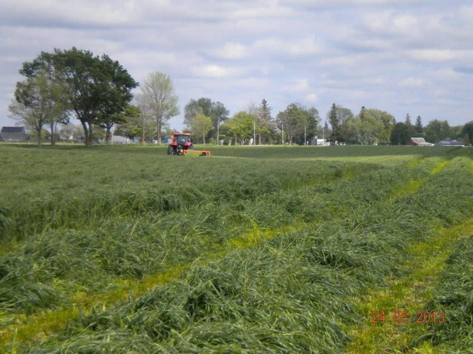 August seeded Italian ryegrass cut in the fall and again May 24th (shown). (Photo credit Glen McNeil)