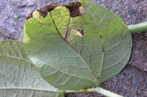 Red - Purple discolouration of Leaf veins and petioles