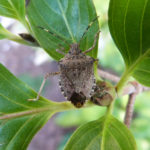 Brown Marmorated Stink Bug (H. Fraser, OMAFRA)