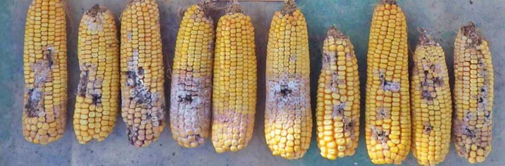 Figure 1. WBC feeding damage and mycelial growth on SmartStax corn hybrid, 2013. J. Smith