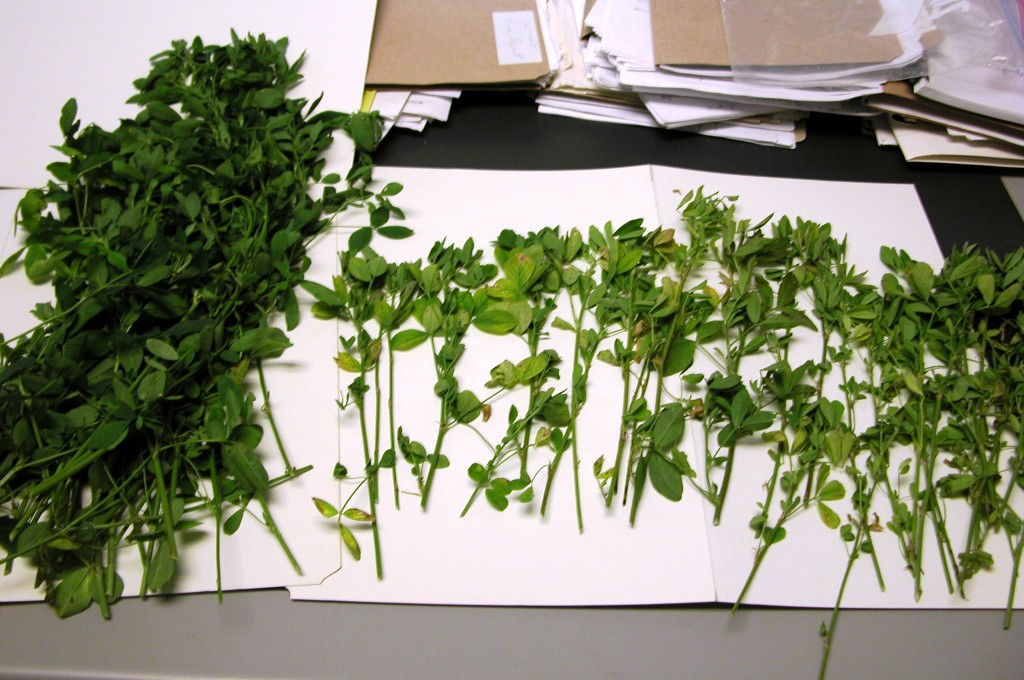 Figure 1 – S Deficiency Symptoms In Alfalfa. Left – normal alfalfa stems with tissue test 0.34% S  Right – S deficient with tissue test 0.18% S, light green, spindly