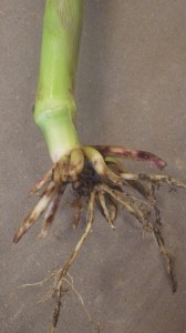 Corn rootworm feeding injury, July 16, 2014, Ridgetown, ON. (Photo Credit: Jocelyn Smith)