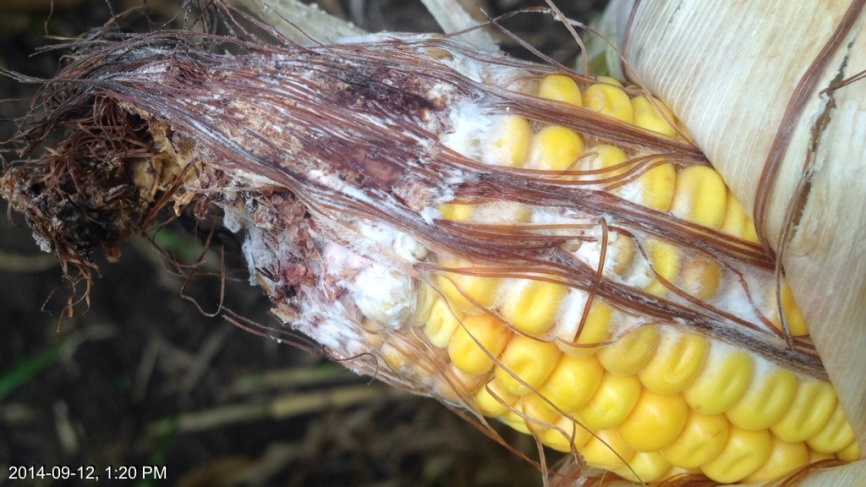 Figure 1. WBC tip feeding and Fusarium ear rot. J. Smith