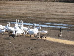 P1010617 Tundra Swans