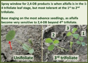 Alfalfa Growth Stages