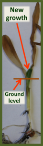 Corn Seedling Showing New Growth