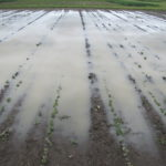 Flood Damaged Soybeans