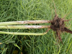 EARLY SCLEROTINIA INFECTION OF MAIN STEM