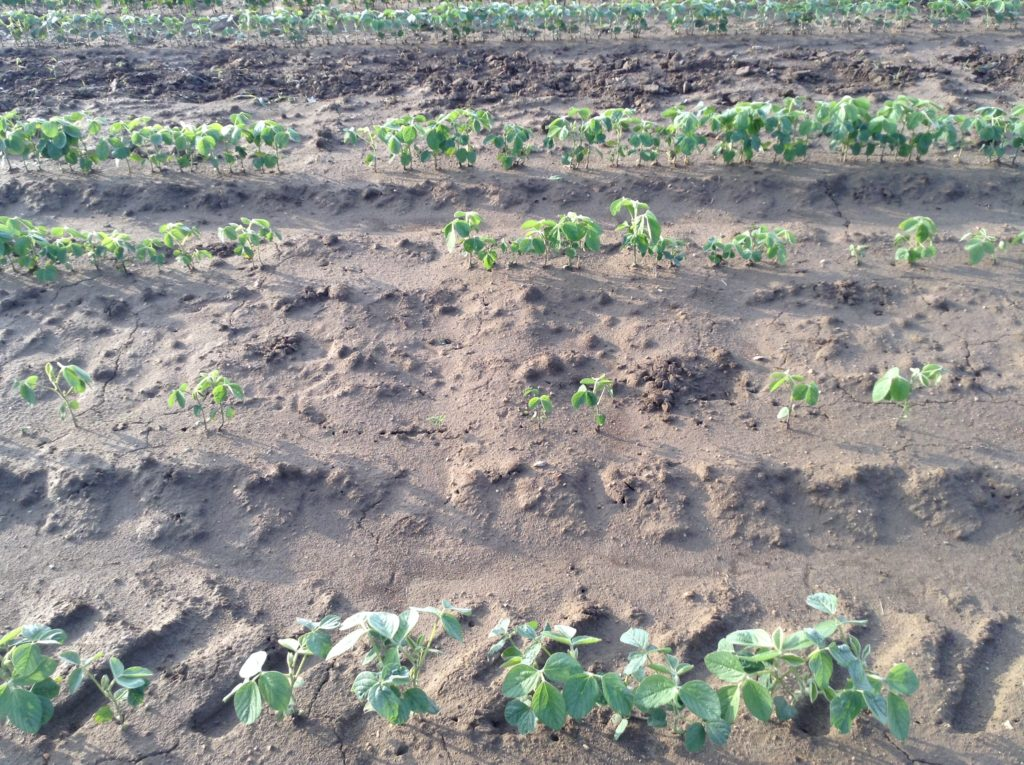 A side view showing the difference in plant stand as a result of plant death from the pre-plant Eragon treatment at the 3X rate.