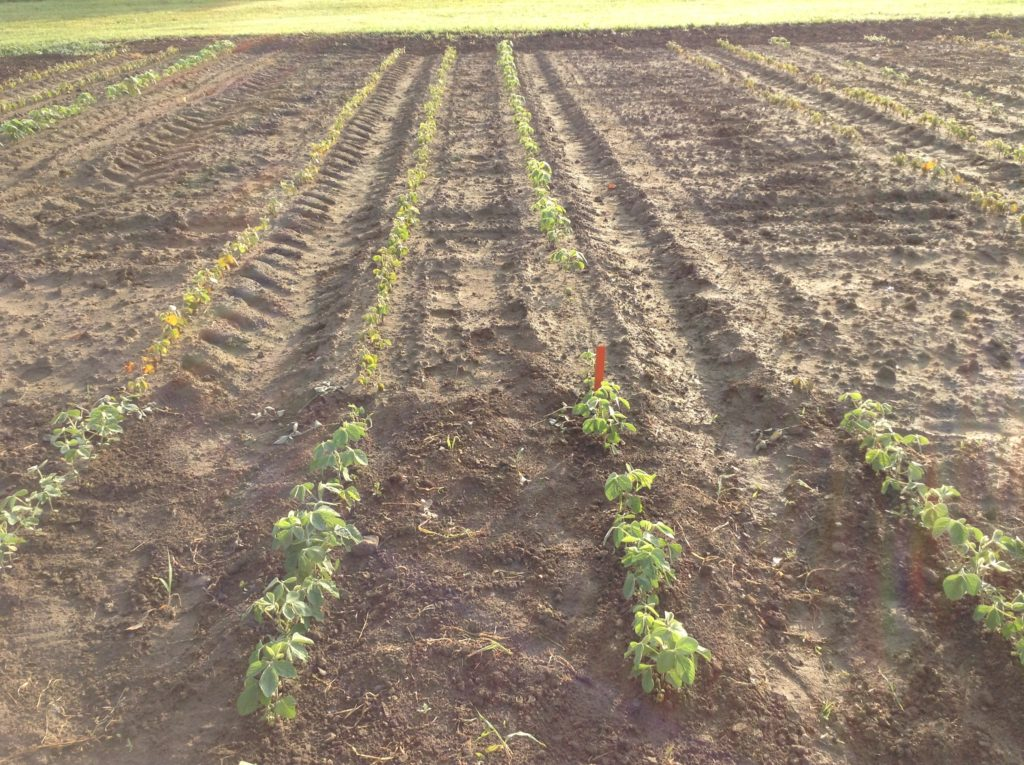 From left to right: Roundup Ready, Xtend, Enlist and Liberty Link 7 days after an application of glyphosate + MCPA Ester