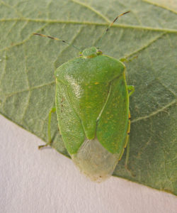 Green stink bug adult (T. Baute, OMAFRA)