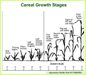Cereal Growth Stages Pub 811