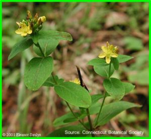 Spotted St John_s Wort